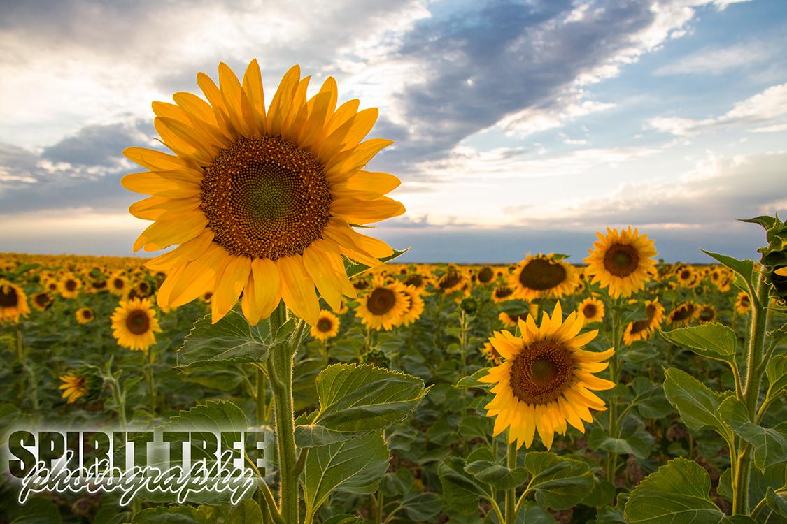 Golden Sunflowers in Watkins, Colorado