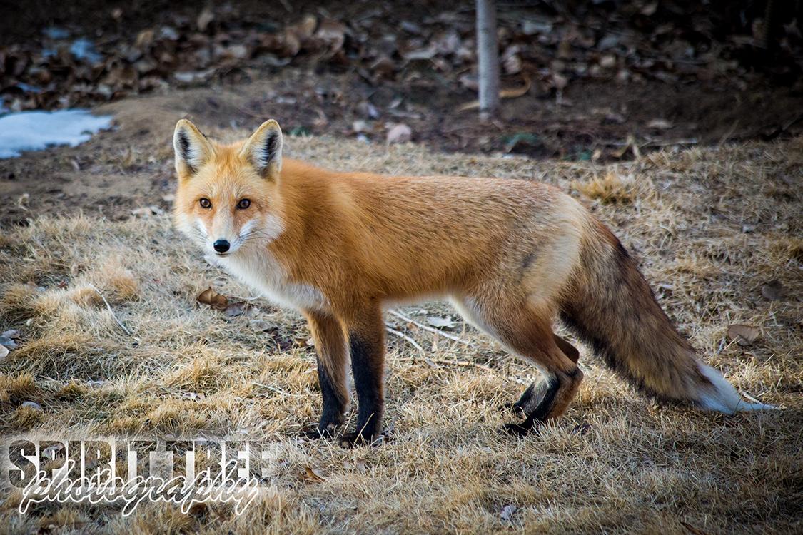 Sly Fox in Parker, Colorado