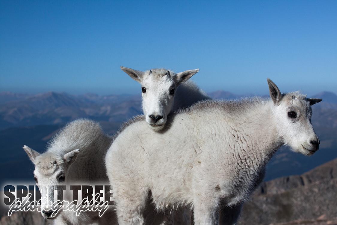Mountain Goats on Mt. Evans, Colorado
