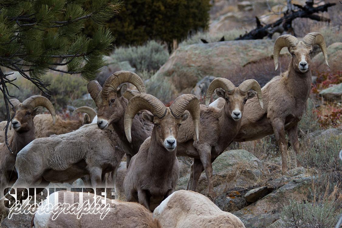 Bighorn Sheep of the Rockies