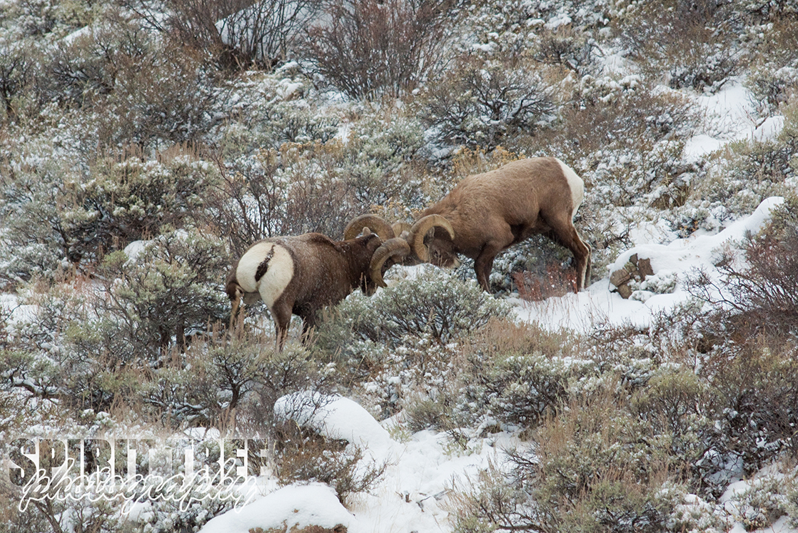 Battle of the Bighorn